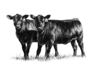 Russell Cattle Company Heifers